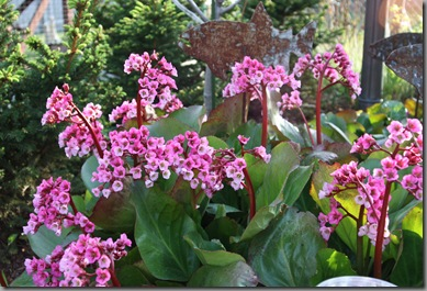 early summer bergenia 001