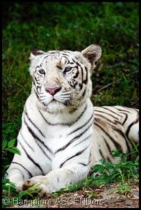 white_tiger_Bannerghatta-1