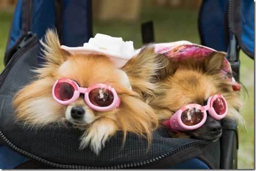 dog-picture-photo-pomeranians-sunglasses