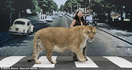 Hercules-liger3