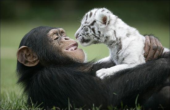 chimpance (6)