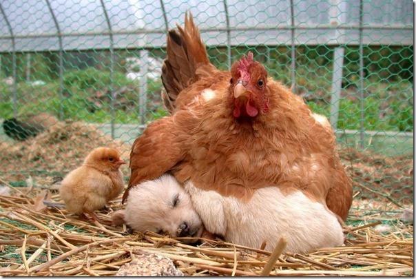 gallina incubando a un perro