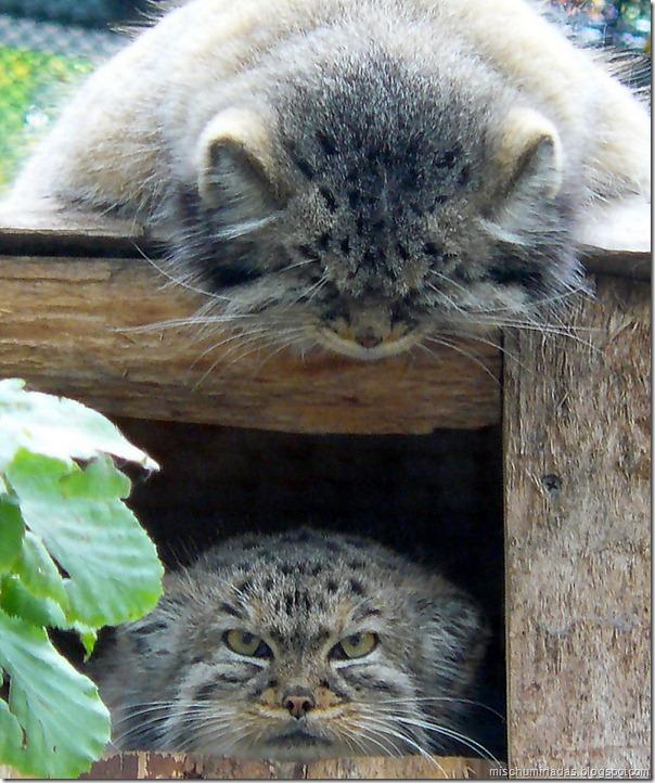 gatos migallinero (6)