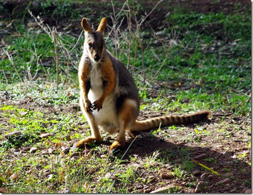 Yellow Footed Rock Wallaby, Warren Gorge SA (southern Flinders Ranges)
