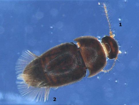 artb_ptiliidae