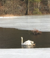2.16.11swan with head turned away swimming