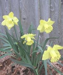 daffodils chartruese