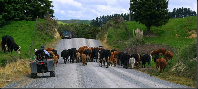 moving cows 1