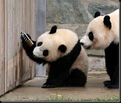pandas-padlock