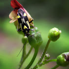Pointed Nettlebug