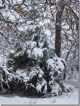 fir tree with snow