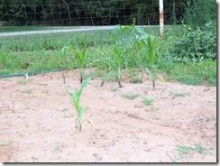 corn 7 26 09