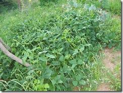 blackeyed peas