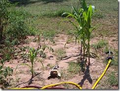 corn report 8.16.09 009