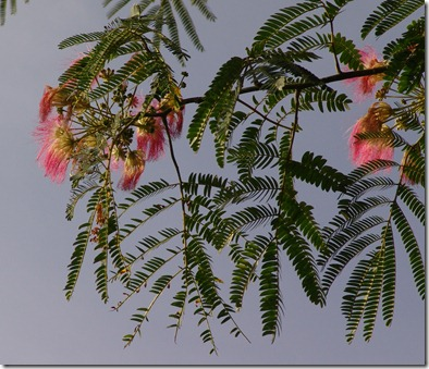 mimosa blooms 2
