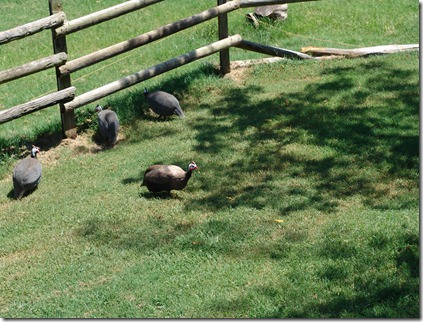 garden and guineas 027