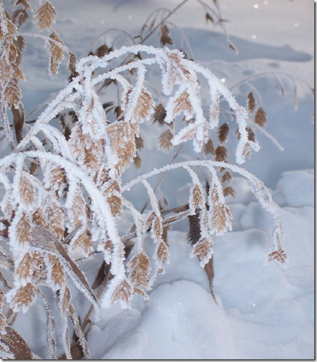 large head grass in snow