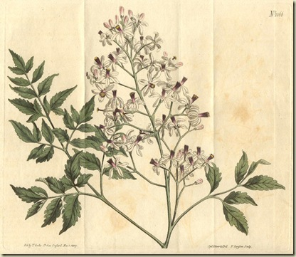 18527.Meliaceae - Melia azedarach