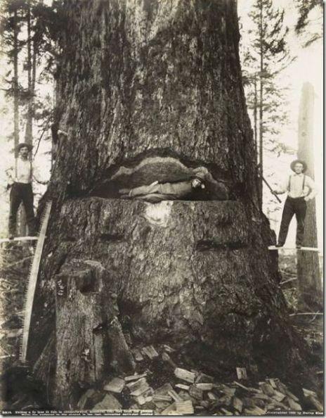 enormes árboles talados cosasdivertidas (37)