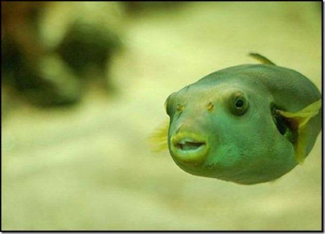 caras de pez casi humana migallinero (1)