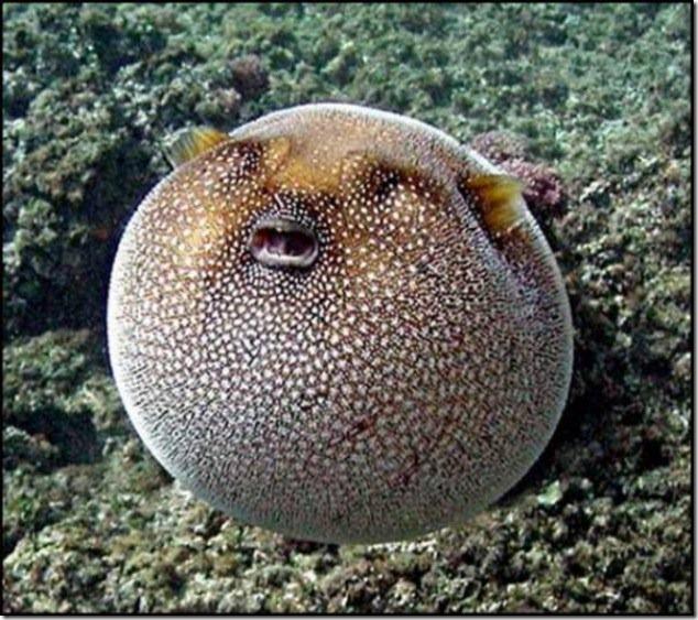 caras de pez casi humana migallinero (119)