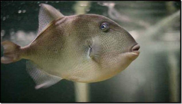 caras de pez casi humana migallinero (123)