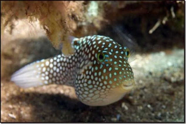caras de pez casi humana migallinero (125)