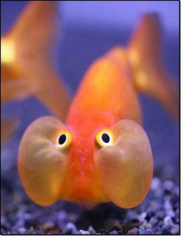 caras de pez casi humana migallinero (127)