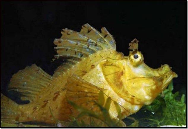 caras de pez casi humana migallinero (129)