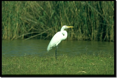 Great White Egret 268005