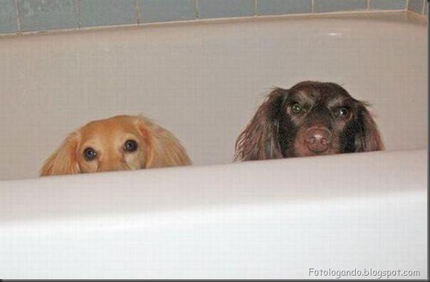 Cães no banho (1)