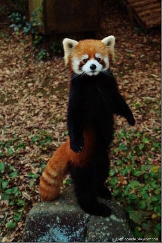 Panda Vermelho (6)