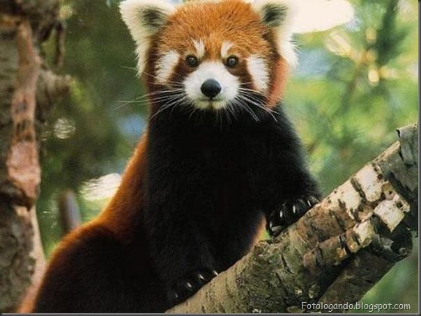 Panda Vermelho (3)