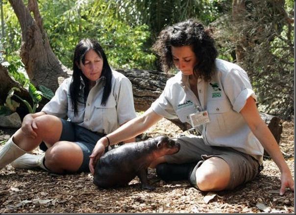 Hipopotamo pigmeu recem nascido (9)