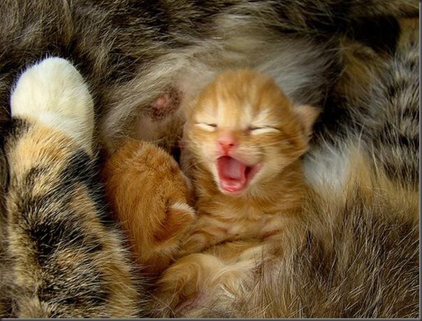 Fotos de gatinhos fofos bocejando (3)