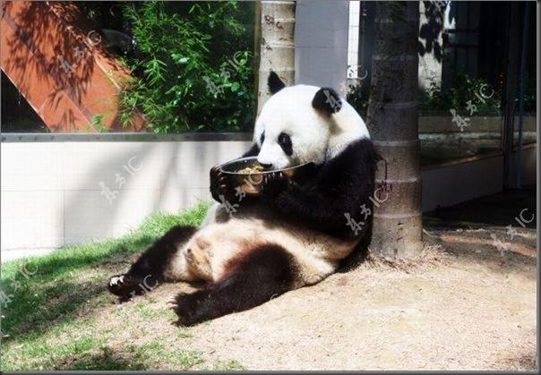 Panda mais velha da China completa 30 anos (1)