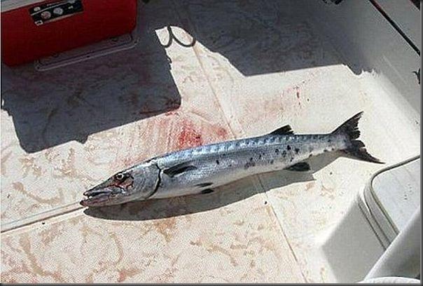 Barracuda ataca menina de 14 anos (2)