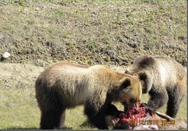 Jantar romantico entre ursos (23)