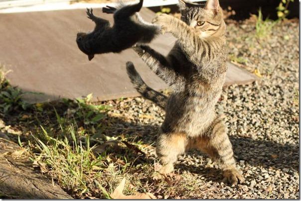 Kung Fu felino