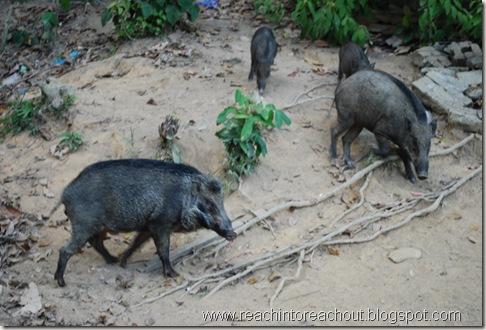 boars..
