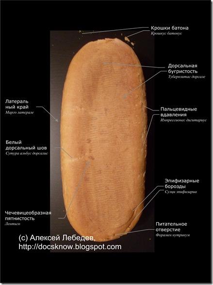 Анатомия батона 04-1