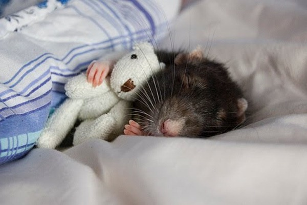rat-with-a-teddy-bear-16026-1233948665-3