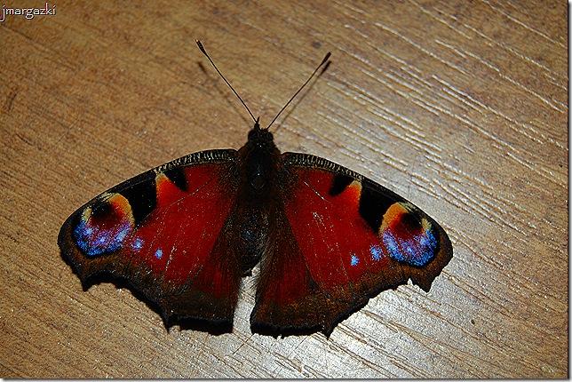 mariposa 10-09-2008