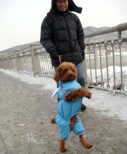 Poodle chinês só anda em duas patas