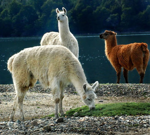 Madariaga's Llamas. Photo: Horacio Iannella