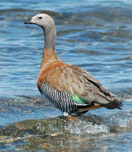 Ashy-headed Goose. Photo: Horacio Iannella