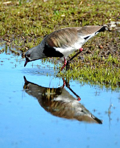 Southern lapwing. Photo: Horacio Iannella