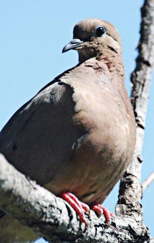 Eared Dove. Photo: Horacio Iannella
