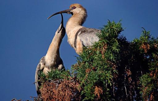 Buff Necked Ibis. Foto: Horacio Iannella