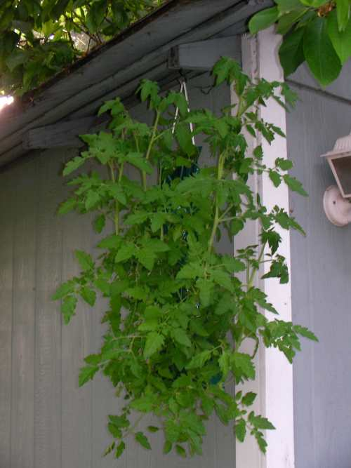 Tomato bag- variety 'Gold Nugget'